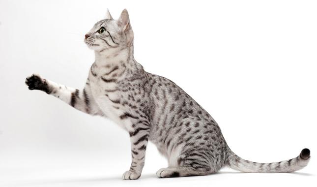 Egyptian Mau Info Kucing