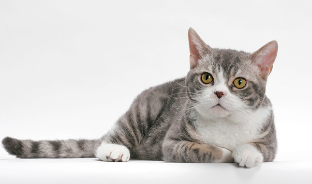 American Wirehair Info Kucing