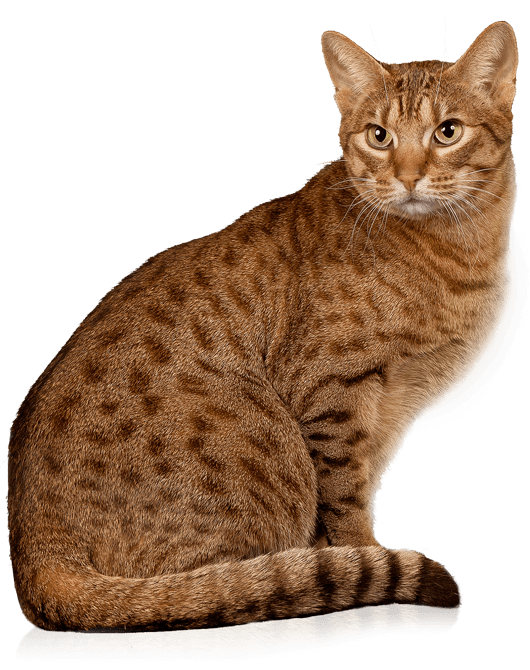 Ocicat Info Kucing