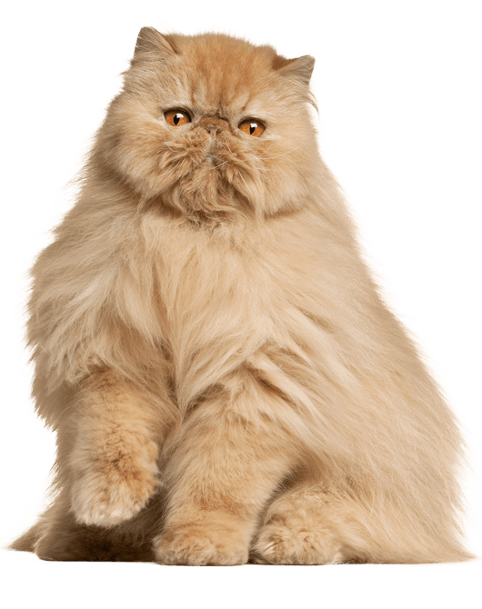 Persian Info Kucing