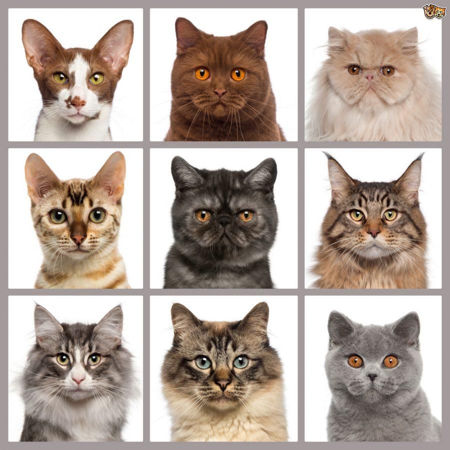 Jenis Kucing British